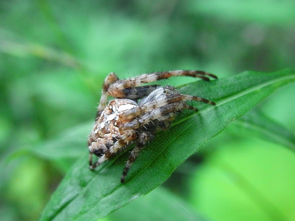 Arachne, Spider, Gliedertier, Invertebrates, Animal