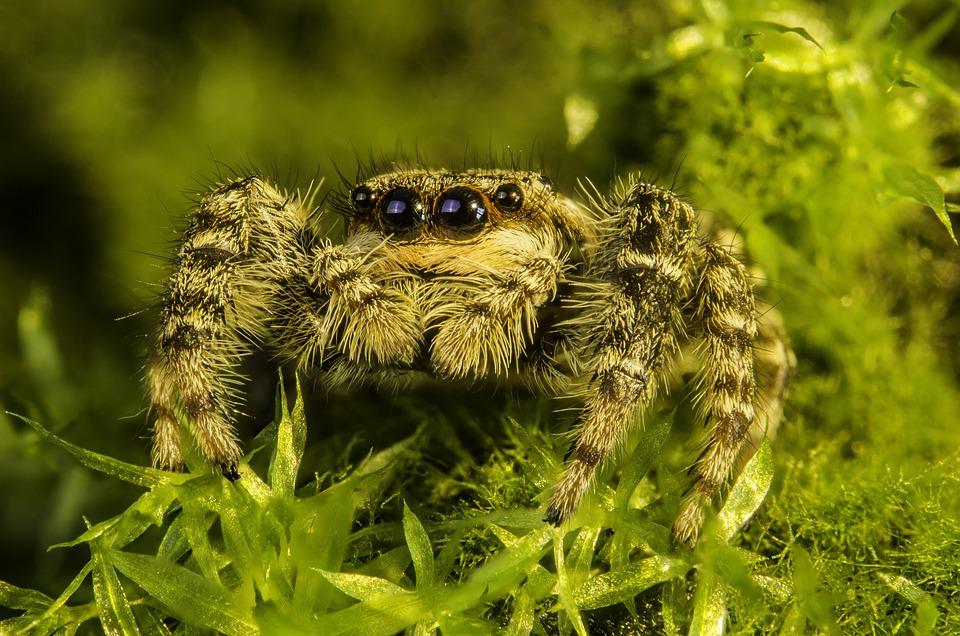 Arachnid, Spider, Jumping, Nature, Macro, Hunting