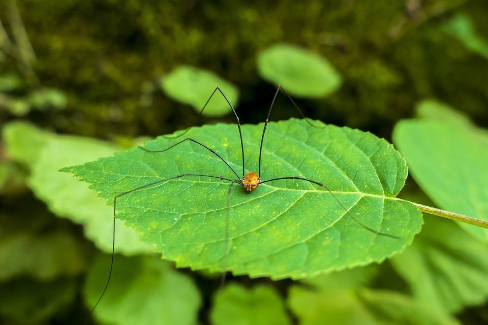 Harvestman, Arachnid, Insect, Bug, Spider, Nature