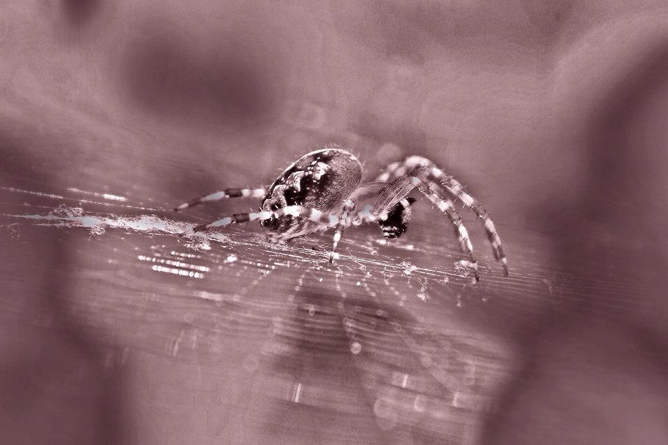 Spider, Araneus, Garden Spider, Spider Macro, Arachnid