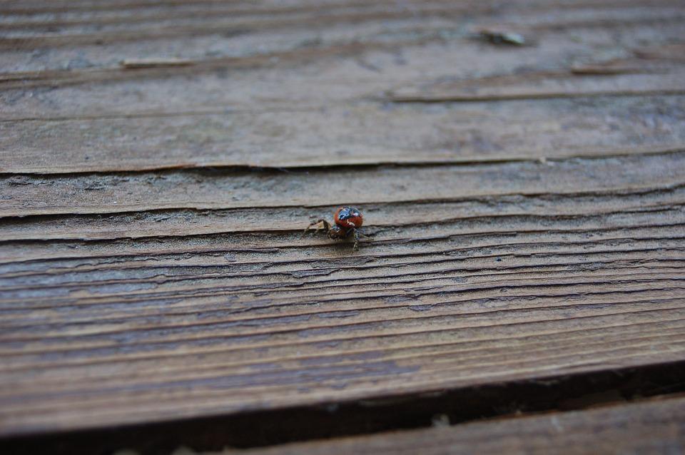 Synema Globosum, Spider, Insect, Arachnid, Bug