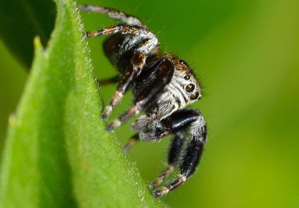 Arachnida, Salticidae, Spider, Jumper