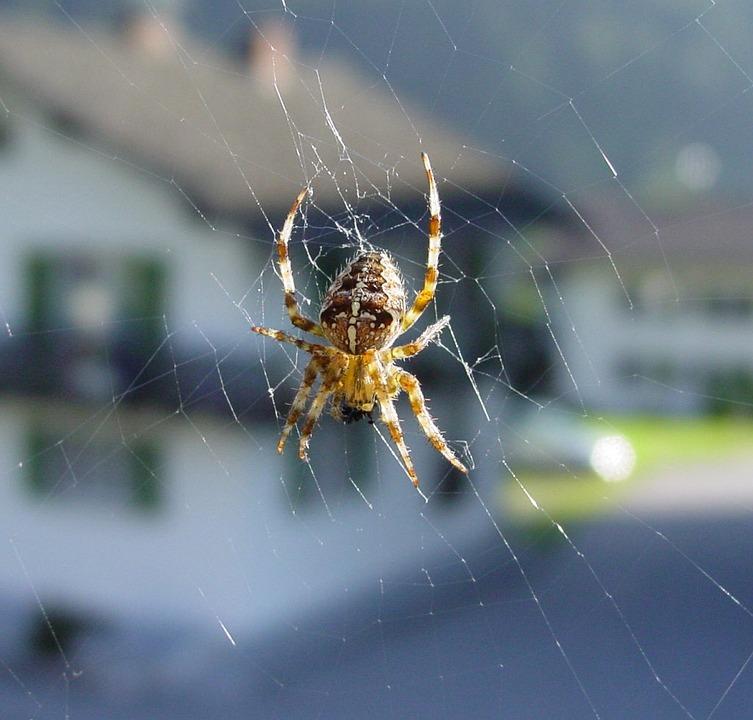 Araneus, Cobweb, Spider, Insect, Toxic