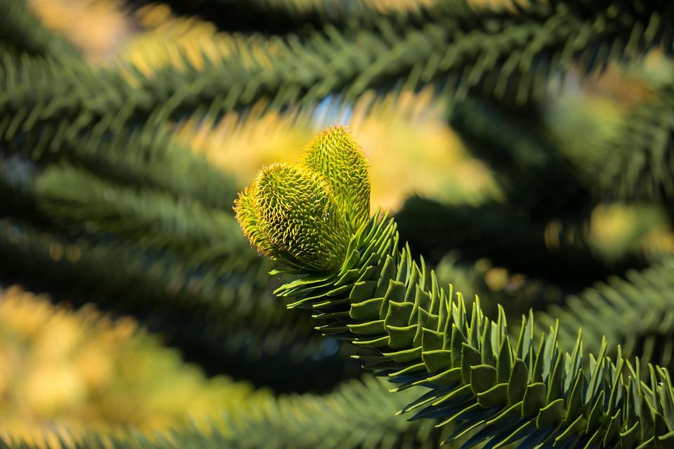 Araucana, Chile Pine, Chile Fir, Snake Tree, Shed Fir