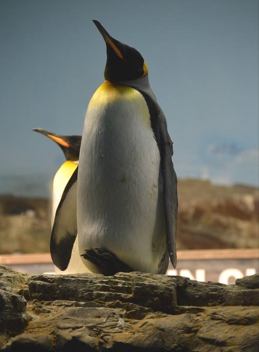 Penguin, Bird, Wildlife, Animal, Arctic, Cold, Water