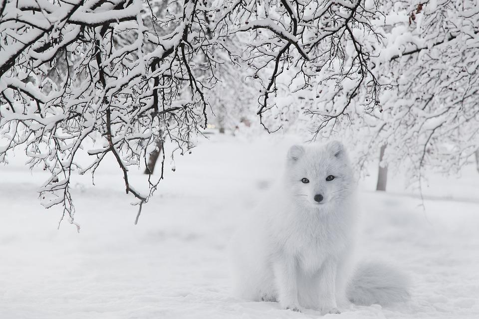 Fox, Snow, Forest, Winter, Cold, White Fox, Arctic Fox