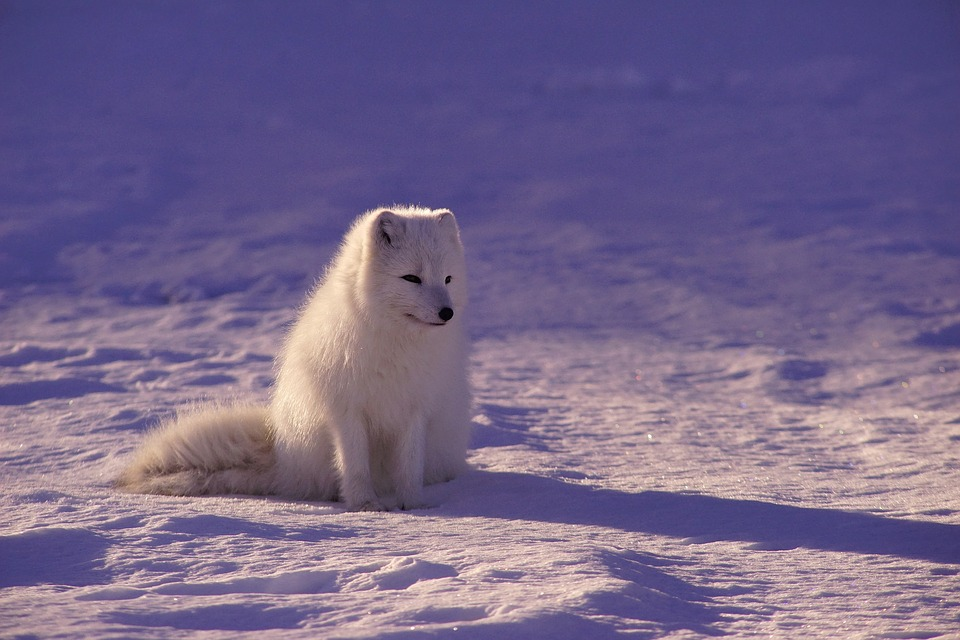 Arctic Wolf, Fur, Mammal, Outdoors, Snow, White, Winter