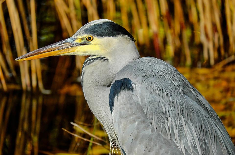 Heron, Grey Heron, Animal, Bird, Ardea Cinerea, Eastern