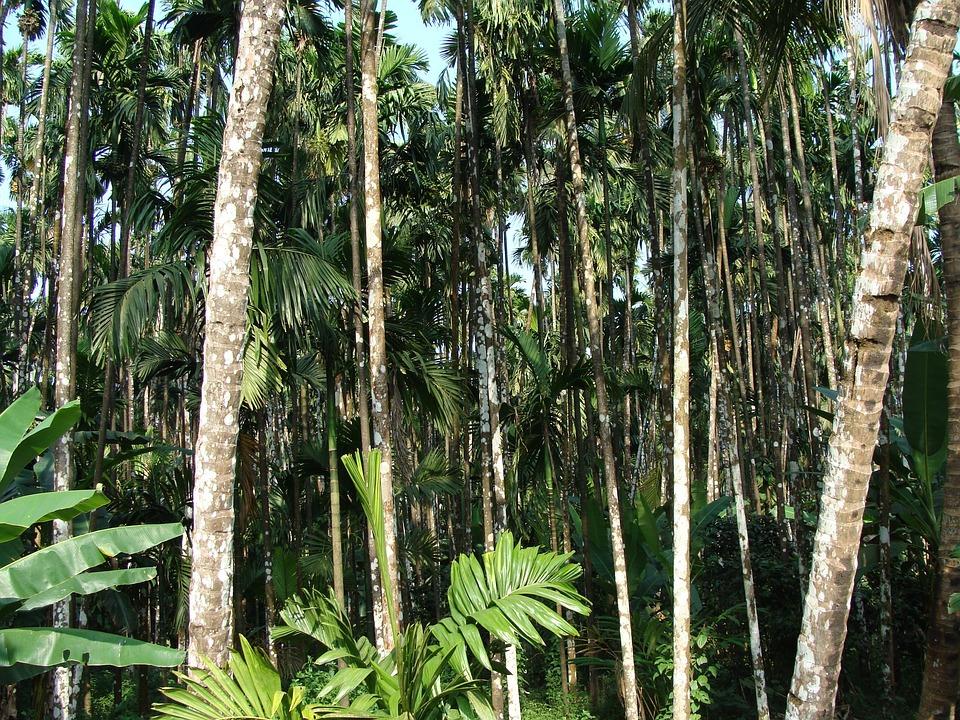 Arecanut, Orchard, Plantation, Malnad, Uttar Kannada