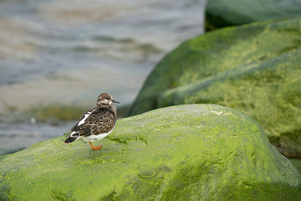 Ruddy Turnstone, Arenaria Interpres, Bird, Shore, Ocean