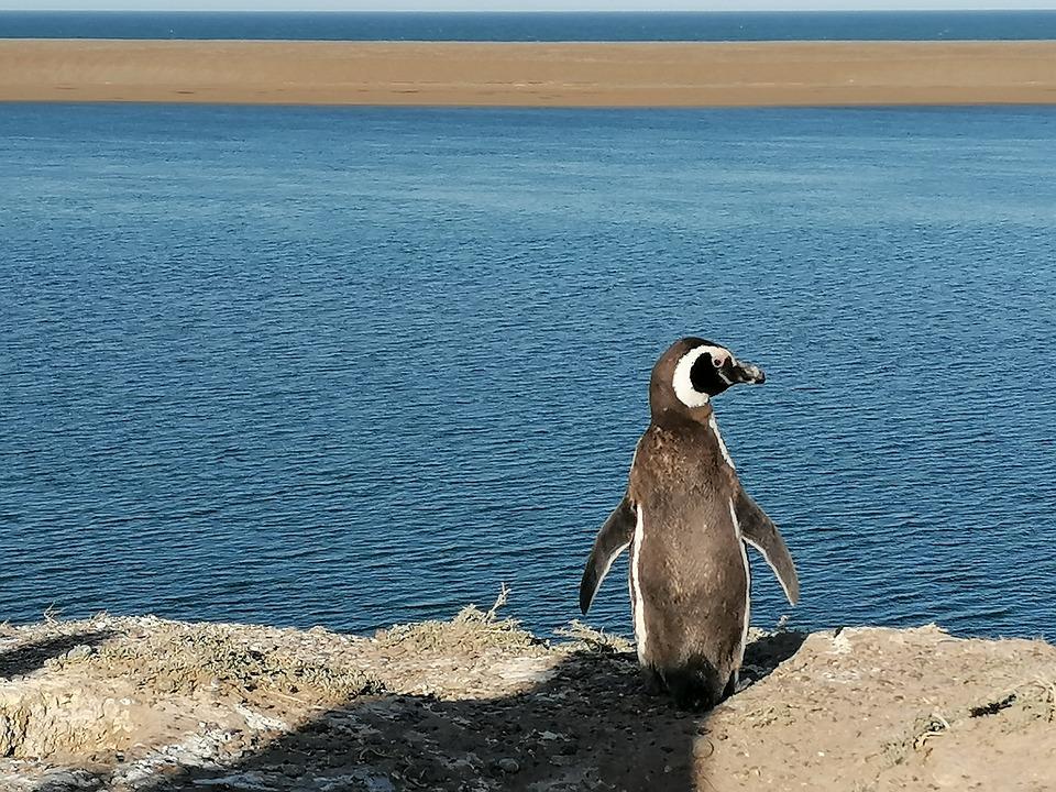 Penguin, Valdes Peninsula, Patagonia, Argentine, Nature