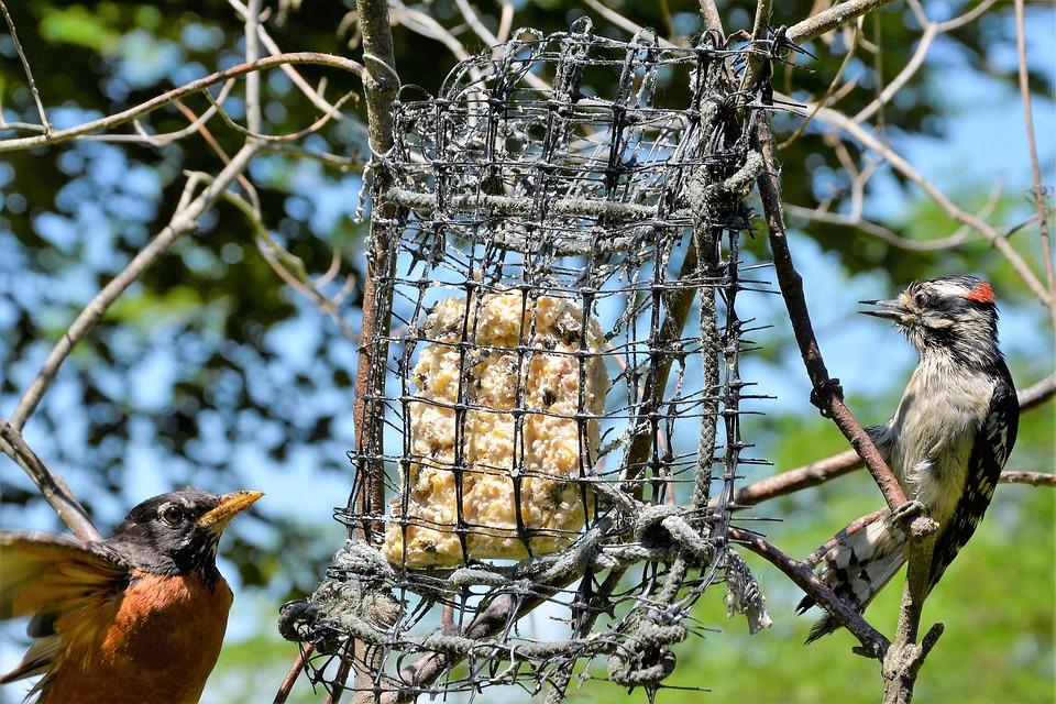 Birds, Arguing, Woodpecker, Robin, Confrontation