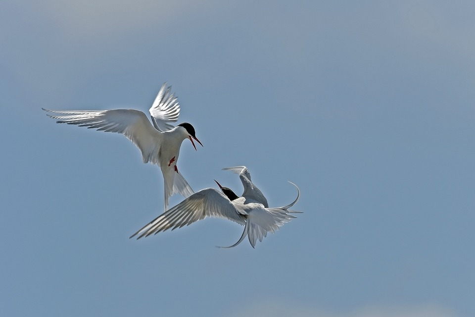 Arctic Tern, Arguing, Birds, North Sea