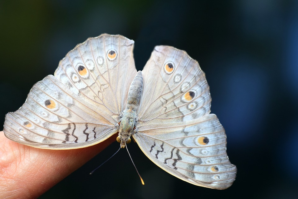 Argus, Common Blue, Butterfly, Insect, Nature, Animal