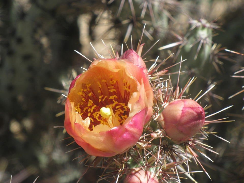 Flower, Arizona, Floral, Plant, Natural, Blossom, Bloom