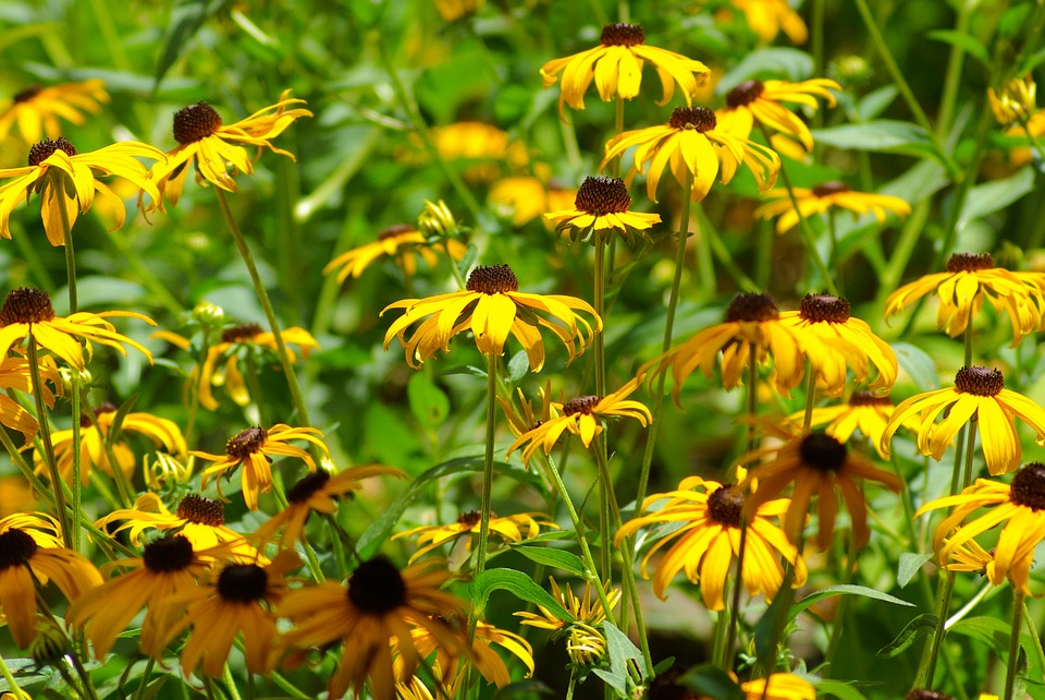 Arkansas Black-eyed Susans, Arkansas, Blackeyed, Susan