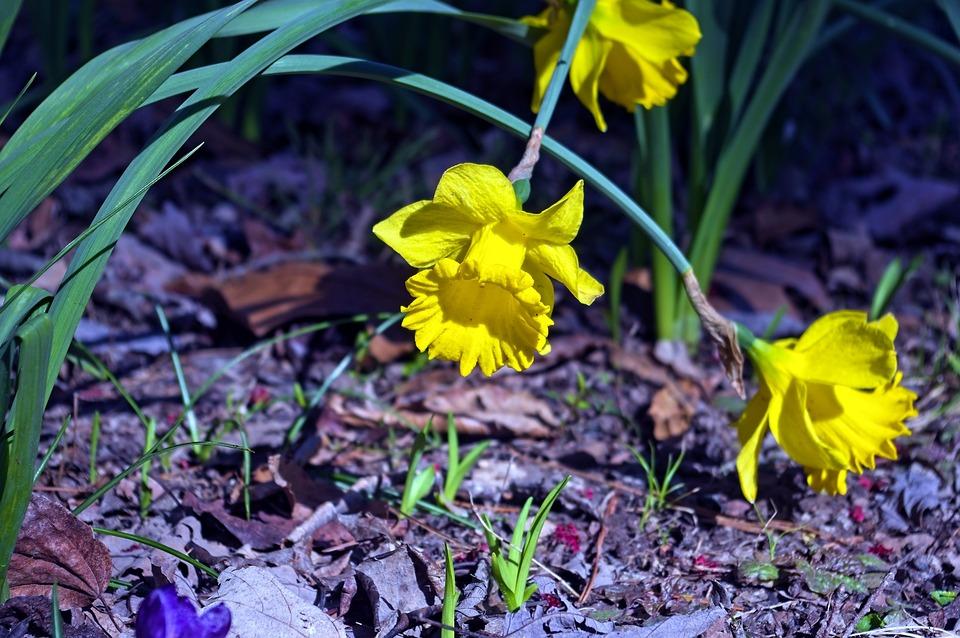 Arkansas Narcissus, Garden, Bloom, Plant, Flowers