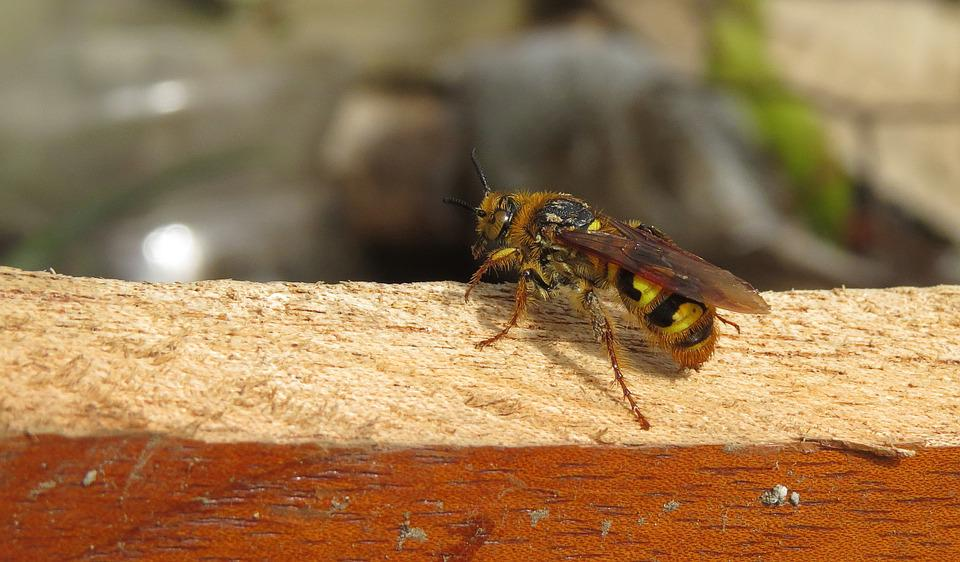 Insect, Yellow Jacket, Nature, Armenia