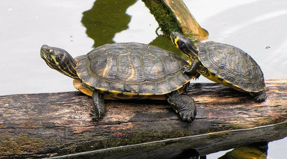Turtles, Zoo, Nature, Armor, Shell, Animal, Reptiles