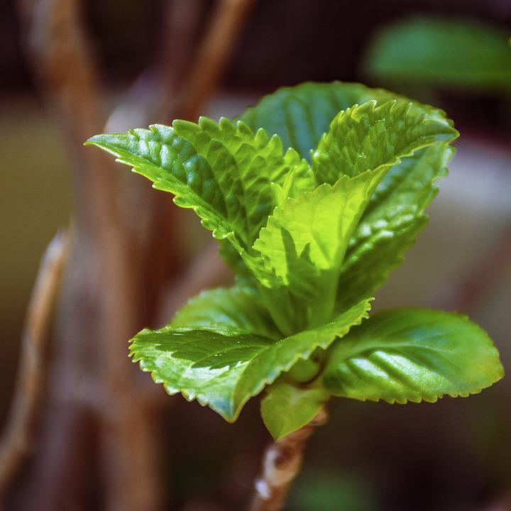 Mint, Herb, Leaves, Aroma, Green, Garden, Menthol