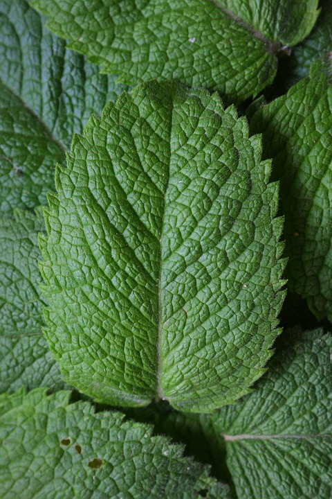 Peppermint, Mint, Herbs, Plant, Aroma