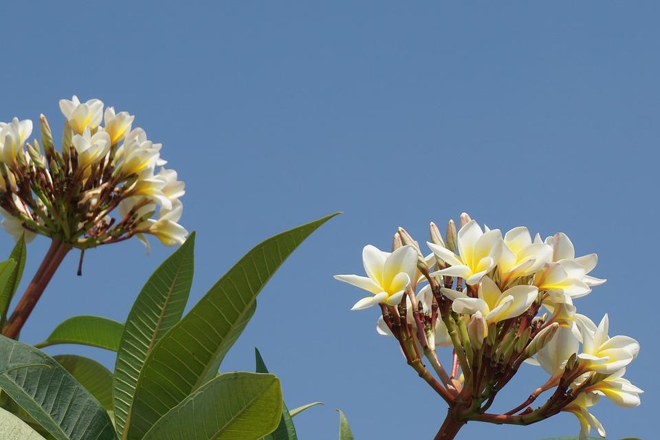 Frangipani, Champa Laos, White Flowers, Aroma, Sky