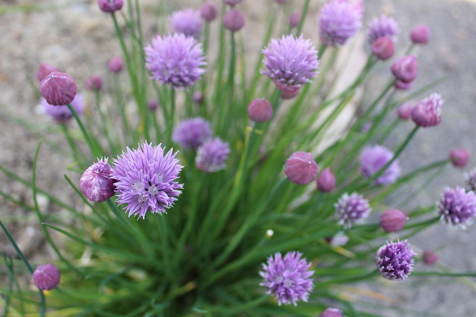 Chives, Plant, Aromatic, Aromatic Plant, Chive Flower
