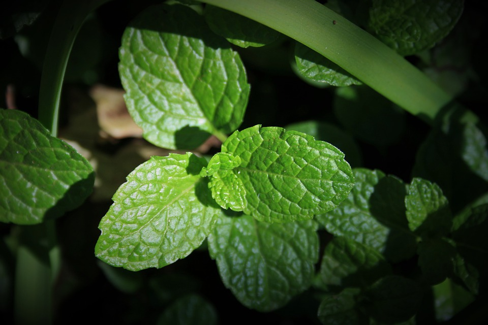 Green Mint, Mint, Green, Leaves, Fragrant, Aromatic