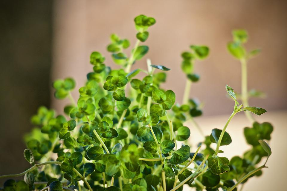 Aromatic Plant, Herbs, Thyme, Aroma, Nature, Homeopathy