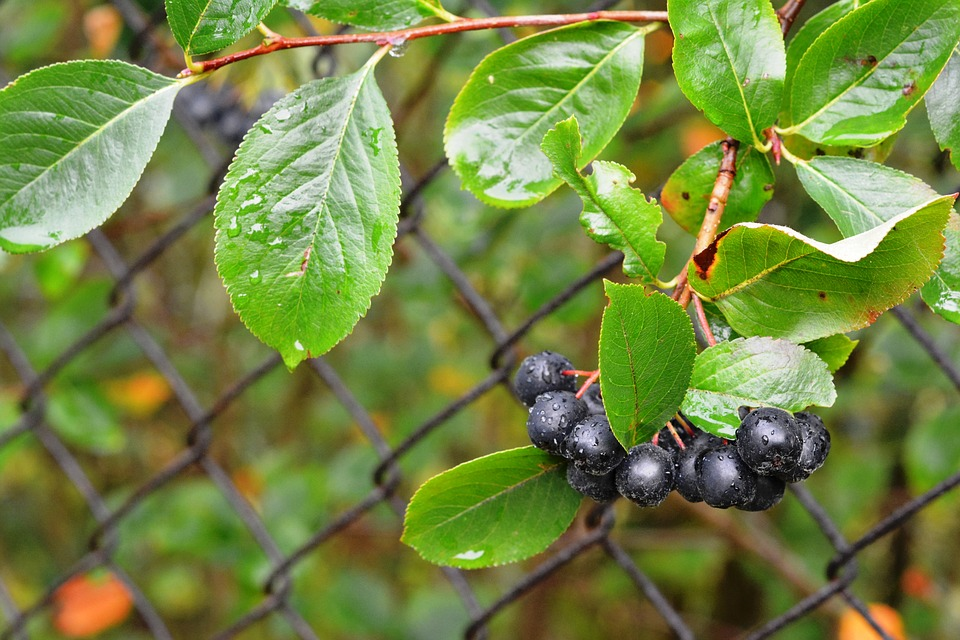 Aronia, Aron, Fruit, After The Rain, Nature, Food