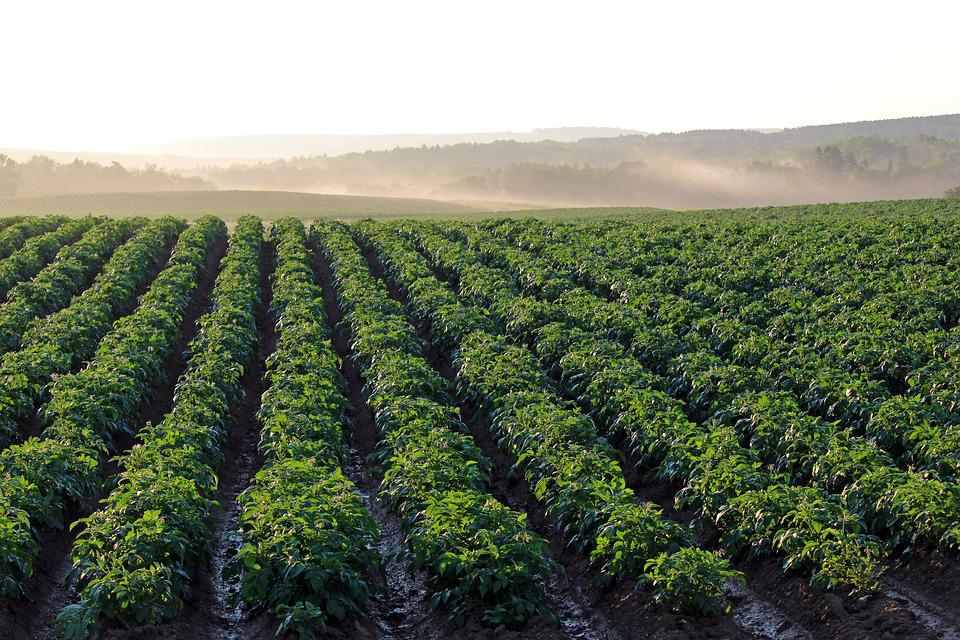 Potato Field, Aroostook County, Morning Light, Haze