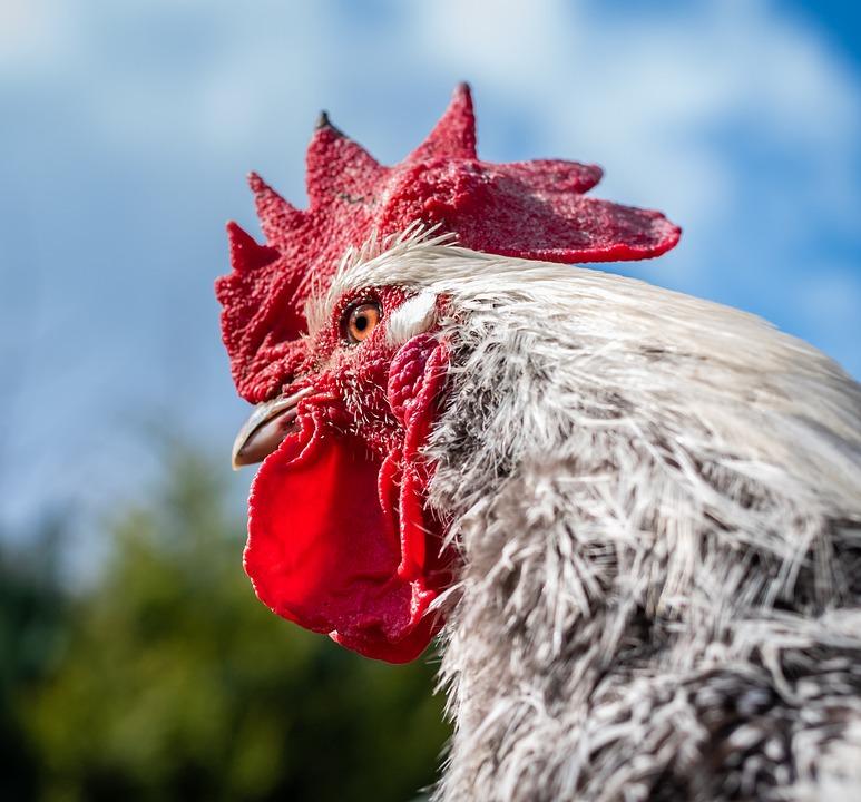 Hahn, Poultry, Farm, Art Fair, Animal Husbandry, Bird