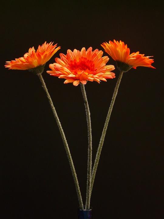 Gerbera, Flower, Plant, Blossom, Bloom, Art Flower