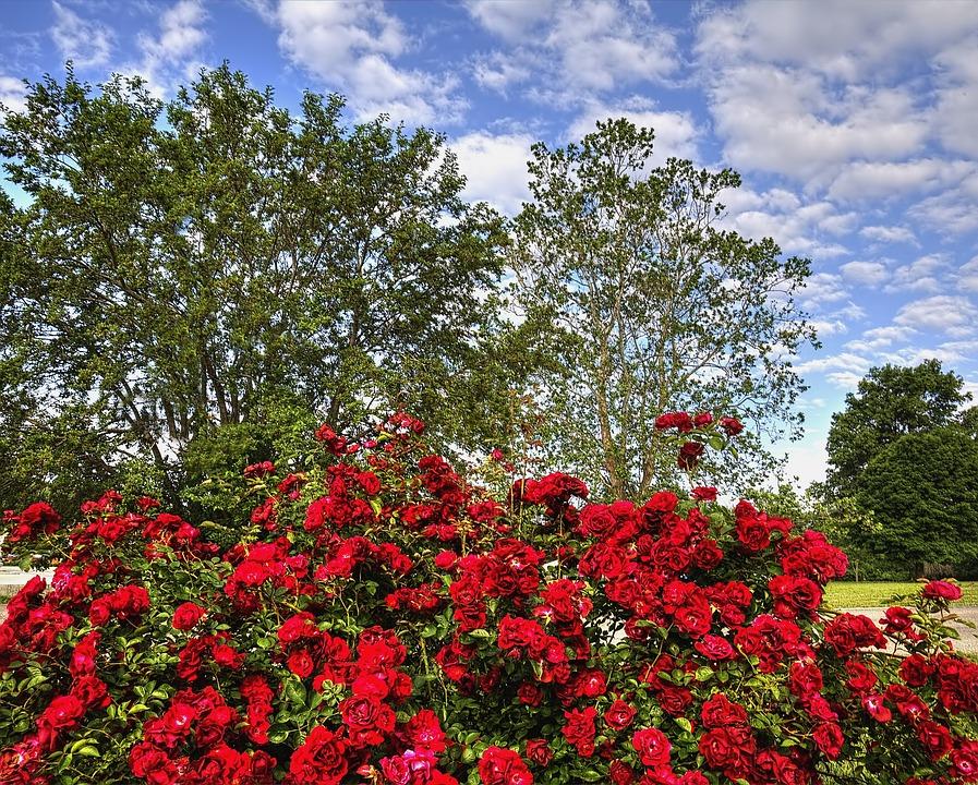 Rose, Scenery, Trees, Artistic, Art Print, Digital Art