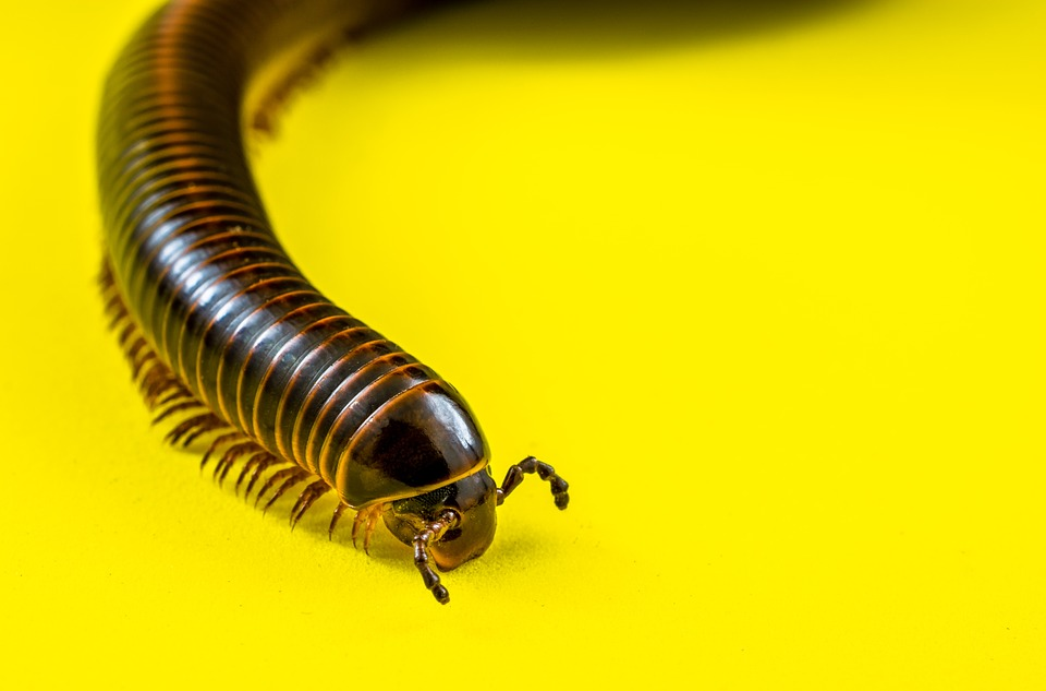 Arthropod, Millipedes, Giant Tausendfüßer