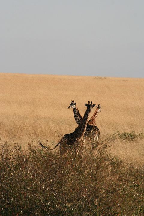 Giraffes, Safari, Animals, Tall Animals, Artiodactyl