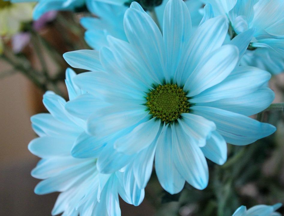 Daisy, Blue, Flower, Macro, Blossom, Artistic, Nature
