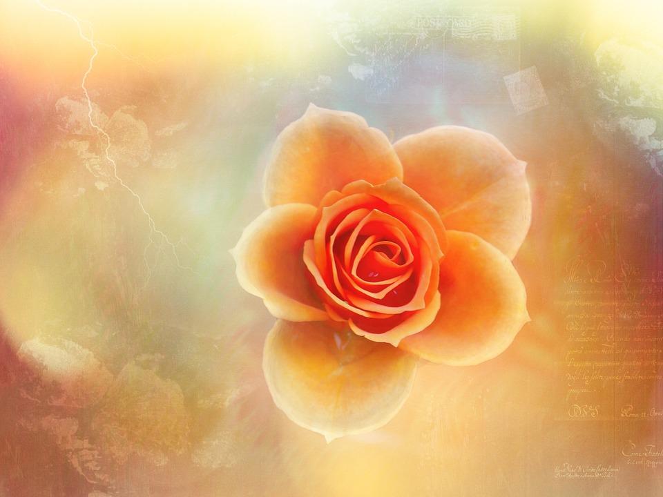 Rose, Artistically, Creativity, Orange, Font