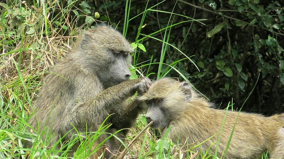 Ape, Arusha National Park, Tanzania