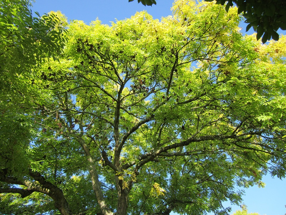 Fraxinus Excelsior, Ash, European Ash, Common Ash, Tree