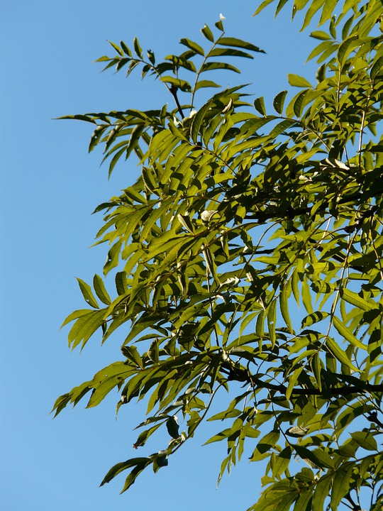 Leaves, Ash, Tree, Branches, Green, Common Ash