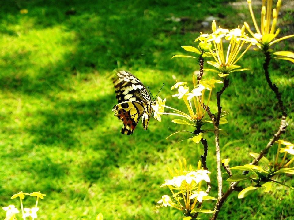 Butterfly, Yellow, Black, Flowers, Ashoka, Plants