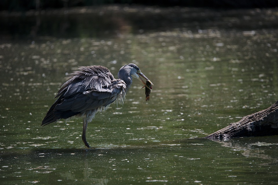 Heron, Ashy, Camargue, Fish, Fishing, Hunting, Food