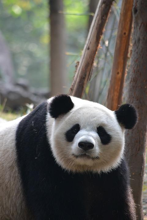 Giant Panda, Chengdu, China, Asia, Wildlife, Endangered