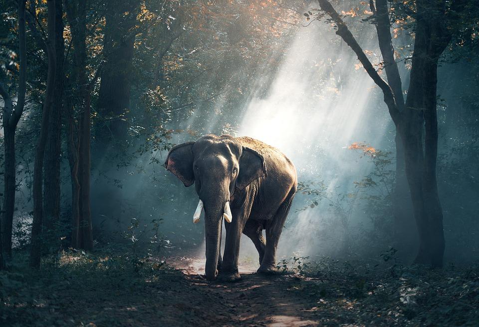 Elephant, Animals, Asia, Large, Environment, Mammal