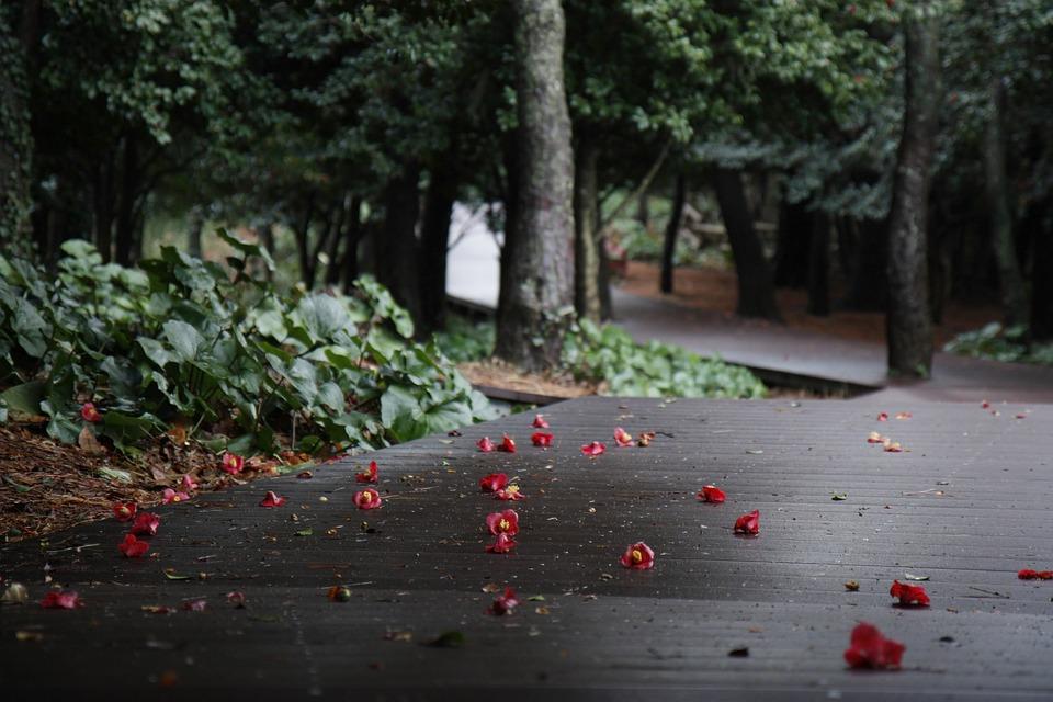 Camellia, Spring, Fallen Blossoms, Falling, Asia