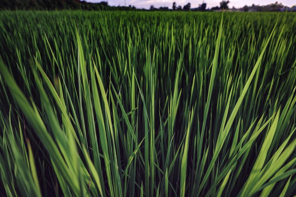 Rice, Paddy, Field, Harvest, Asia, Plantation, Crop