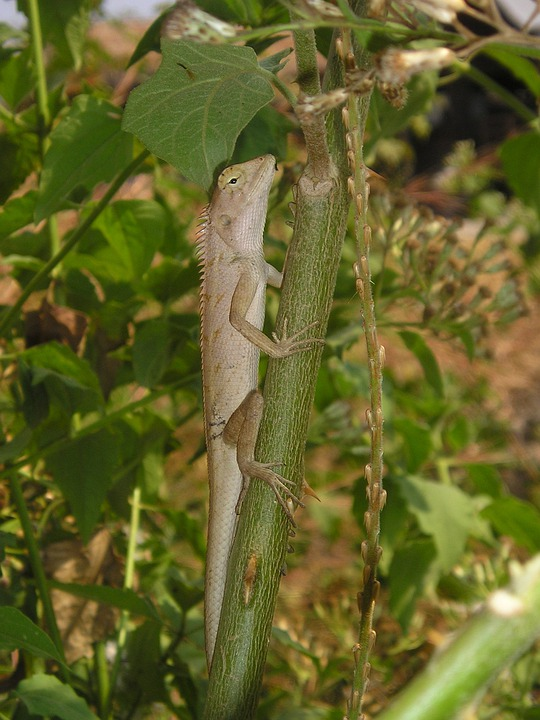 Laos, Animal, Lizard, Iguana, Southeast, Asia