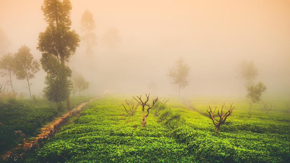 Tea, Mist, Landscape, Green, Travel, Asia, Tree, Light
