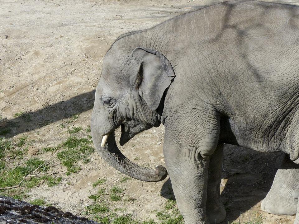 Elephant, Nature, Animal, Wildlife, Mammal, Asian